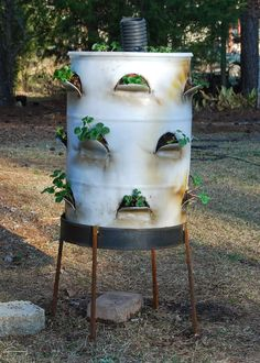 Strawberries planted in large 55 gallon plastic drum