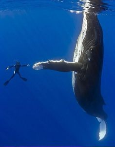 50 foot humpback whale underwater high five High Five, Big Blue Whale, Perfectly Timed Photos, Wale, Perfect Timing, Perfect Angle, Perfect Place, Humpback Whale, Mundo Animal