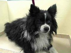 SAFE --- SUPER URGENT 2/18/14  Brooklyn Center    EUSTACE - A0991937  *** BLIND ***   NEUTERED MALE, BLACK / WHITE, SHETLD SHEEPDOG, 10 yrs  STRAY - STRAY WAIT, NO HOLD  Reason STRAY   Intake condition GERIATRIC Intake Date 02/18/2014, From NY 11214, DueOut Date 02/21/2014 https://www.facebook.com/Urgentdeathrowdogs/photos_stream