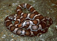 Eastern Milksnake / Location:  everywhere but the northern part of Wisconsin / Length:  24-36""