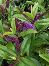 Hebe 'Wiri prince' Native Plants, Forests, Lush, Woods, Prince, Garden, Flowers, Garten, Woodland Forest