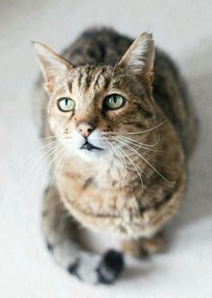 tabby cat: Tabby Cats, Kitty Cat, Handsome Cat, Cats Planet, Cats And Kittens, Animals Cat, Callie Cats, Cat S