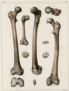 Drawing The Human Figure - Tips For Beginners - Drawing On Demand Anatomy Bones, Body Anatomy, Anatomy Study, Anatomy Art, Anatomy Reference, Gross Anatomy, Human Skeleton Anatomy, Human Anatomy Drawing, Bone Drawing