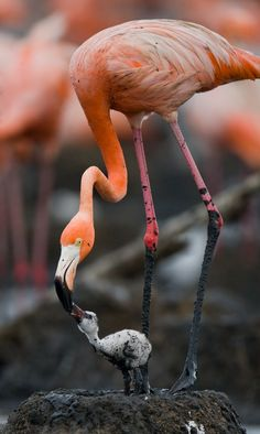 Flamingo with nestling by ANDREY GUDKOV on 500px