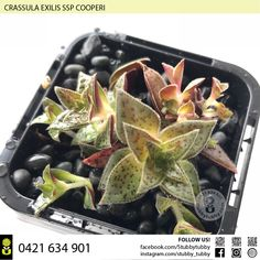 Quality succulents, cacti and houseplants for sale - Adelaide, SA, Australia Succulents For Sale, Super Natural, Houseplants, Cactus, Succulents, Indoor House Plants, House Plants, Interior Plants