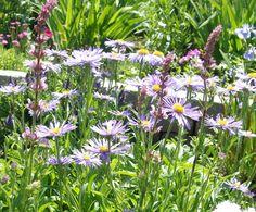 Fall Perennials: Asters