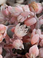 Género Sedum | Flora-On