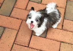 Happy Mi-Ki puppy from Rare Gem Mi-Ki Puppies!