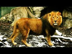 Lion Roar | Roaring and Growling Lion Sounds - YouTube for sunday school Daniel and the Lions den