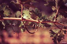 Vine in sunlight // Vigne au soleil #wine #vin ©Sebanado