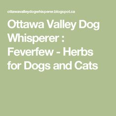 Ottawa Valley Dog Whisperer : Feverfew - Herbs for Dogs and Cats