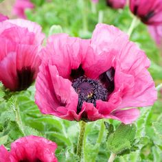 "Best New Plants 2014 . Our featured plant, above – ""Plum Pudding"" Poppy – This is one of the most gorgeous poppies I've seen. Easy to grow, this poppy blooms in June, lasts longer than most other poppies, and many times will re-bloom in the fall! Love Flowers, My Flower, Purple Flowers, Beautiful Flowers, Pink Petals, Purple Flowering Plants, Biennial Plants, Spring Hill Nursery, Deer Resistant Plants"