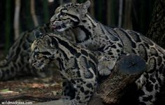 Facts About Clouded Leopard, Information on Clouded Leopard_wildmadness.com