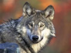 Judge restores protections to wolves in Wyoming