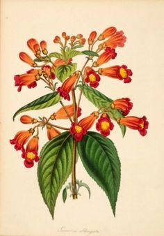 S. Holden Oblong-flowered Gesneria (Gesneria Oblongata) 220 x 150 mm Original…