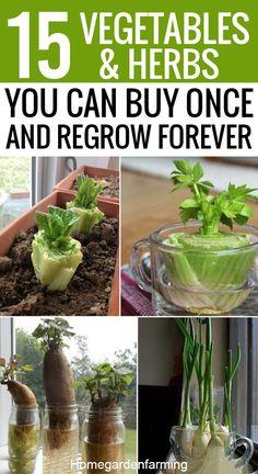 Green Onions Growing, Growing Veggies, Growing Herbs, Growing Lettuce, Regrow Green Onions, Planting Onions, Planting Garlic, Regrow Vegetables, Vegetable Gardening
