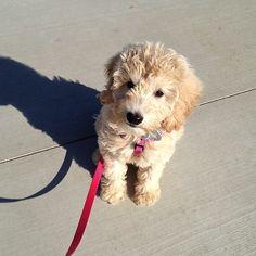 Mini golden doodle puppy Precious Goldendoodle, Mini