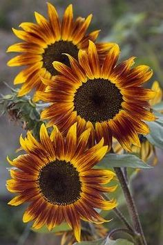 brown and golden sunflowers....