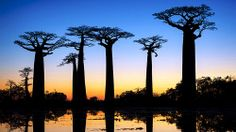 Avenue of Baobabs Beautiful