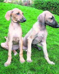 Chippiparai Dog Breed – The Indian Hound Dog