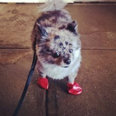 Blue Merle Pomeranian with Red Snowshoes