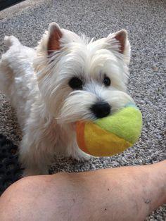 Mini.... #westie #puppy #westhighlandwhiteterrier