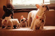 #dogs #bulldog #french bulldog