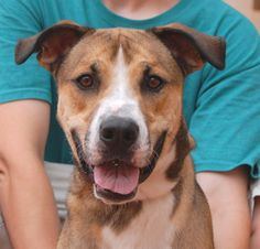 Darth beams with goodwill and a most positive outlook. He is a cute Anatolian Shepherd mix, 2 years young, a neutered boy, debuting for adoption today at Nevada SPCA (www.nevadaspca.org). Darth adores people and sees the best in everyone he meets. He is good with other large dogs too. We rescued him from another shelter that asked for our help.