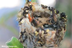 Hummingbirds will nest in your yard if you have what they need. They have to work less to collect the materials needed. Have a food source close, makes your home the perfect place to raise their young.