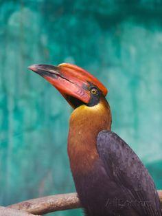 Rufous Hornbil Bird, Philippines