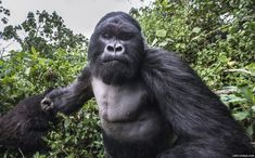 King of the swingers: the angry gorilla did not take kindly to being photographed