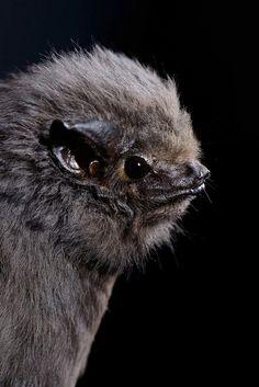 smoky bat