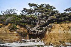 米ワシントン州のカラロック海岸には「命の木」と呼ばれる木がある。浜辺に砂の堆積でできた台地が面しており、その上の木の一つが谷による侵食で宙づりになり、根もむき出しだが、枯れずに生き続けている。via @PeloBlancoPhoto