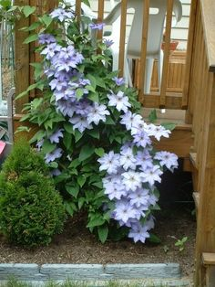 Clematis on each side of back steps. Had for a few years until the chipmunks tunneled under ground and killed them :(