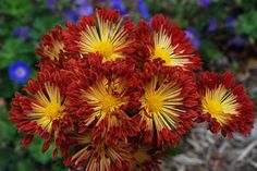 Chrysanthemum (Hardy Mum requires no pinching or deadheading)  MATCHSTICKS