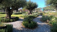 Specimen Olive Tree – Milenarios Centenarios Olivos – Ulivi Secolari Milenari  - Αρχαίες Αιωνόβιες Μεγάλες Ελιές Ελαιόδεντρα