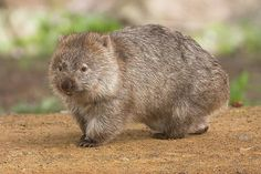 Wombats, one of Australia's most loved marsupials, produce square poop! They poo outside their burrows and on the tops of rocks and logs, and the shape ensures the poop does not roll off its precarious locations. An adult can produce 80-100 cubes a night!  : JJ Harrison/Wikimedia