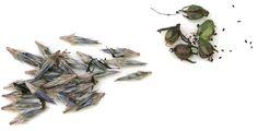 Aloita siementen kerääminen viimeistään, kun hedelmät, esimerkiksi siemenkodat ja -palot, alkavat tummua ja halkeilla. Kuivaa siemenet keräämisen jälkeen huolellisesti. äilytä satosi kylvöhetkeen saakka paperipusseissa tai kannellisissa astioissa, yksivuotiset huoneenlämmössä ja perennat sekä puuvartiset lajit hiukan viileämmässä kuivassa paikassa.