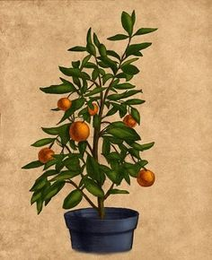 Superior How To Grow And Care For Dwarf Orange Trees In Containers