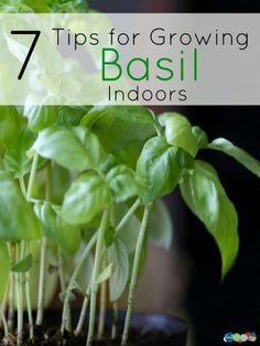 7 Tips for Growing Basil Indoors Inside Garden, Inside Plants, Fresh Basil, Fresh Herbs, Garden Plants, Outdoor Plants, Vegetable Garden, Indoor Herbs, Veggie Gardens