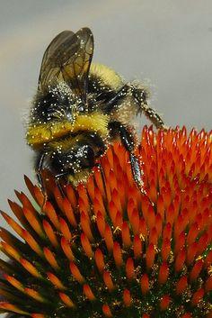Bumblebee and Echinacea Purpurea