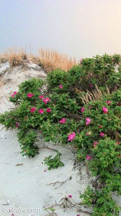 These wild roses grow abundantly in dune areas, on the beaches of New England, and this photo brings back lots of memories.