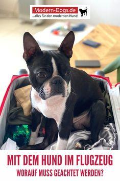 Grundsätzlich darf auch der vierbeinige Freund in den Urlaub fliegen. Jedoch ist dies von unterschiedlichen Faktoren abhängig, die es zu beachten gilt. Da es allerdings keine allgemein gültigen Regelungen für Hunde im Flugzeug gibt, ist es wichtig, sich bei der zu betreffenden Fluggesellschaft zu informieren. In unserem Beitrag heute erfährst du wie du dich am besten vorbereiten kannst, um es deinem Hund so angenehm wie möglich zu machen. #hunde #vierbeiner #hundetipps #moderndogs
