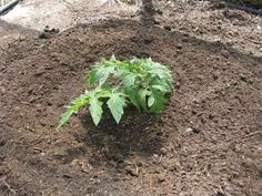 The proper planting of tomatoes is of crucial importance for their development, so if you pay attention to the technique, you will have lots of them in the summer. If you follow the tips we provide in this article, you will definitely taste the most delicious, sun-warmed, fresh tomatoes from your own garden. Tomatoes are […]