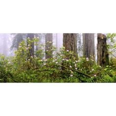 Rhododendron flowers in a forest Del Norte Coast State Park Redwood National Park Humboldt County California USA Canvas Art - Panoramic Images (15 x 6)