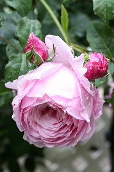 ~English Shrub Rose: Rosa 'Spirit of Freedom' (U.K., 2005)