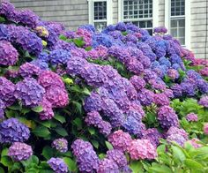 Hydrangea Bush Maybe Behind The House Hydrangeas Nova Cor Colorful Flowers