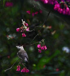 Beautiful Bird Photography 如如美學 / John Gallery 台北市 大直 明水路672巷27號 No.27, Lane.672, Mingshui Road Taipei Taiwan  Taiwan Yuhina, taken at DaSyueShan Trail, Taichung County, TAIWAN