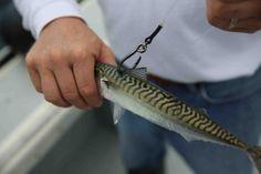 Where to Hook a Mackerel when Bluefin Tuna Fishing Tuna Fishing, Bait