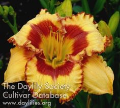 Daylily Dance with Me Henry